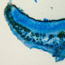 Symbiose bleutée