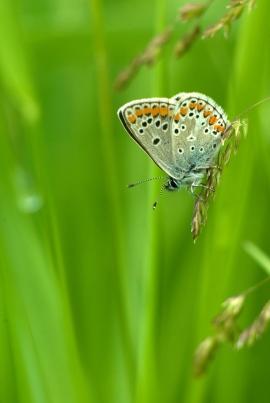 Azuré sur fond d'herbes vertes